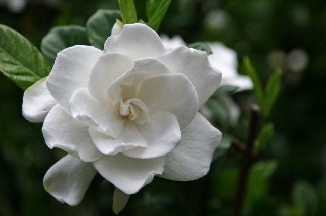 Gardenia   A Timeless Scent … Strong Floral Fragrance.