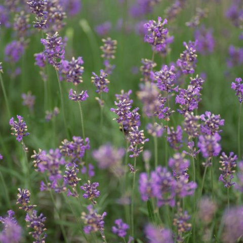 Garden Lavender   Invites Relaxation And A Sense Of Calming Peace.